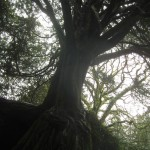 Witch Tree I